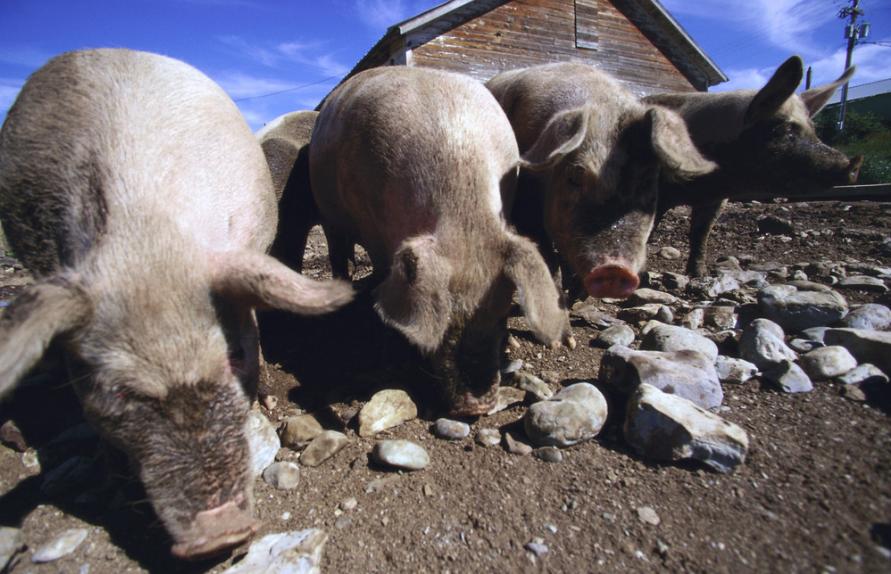 12月17日20公斤仔猪价格,外购仔猪利润大涨!猪企忙扩产?