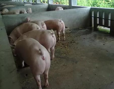 如果你有母猪大栏配种,这13个关键点一定要注意了,提高整体配准率!