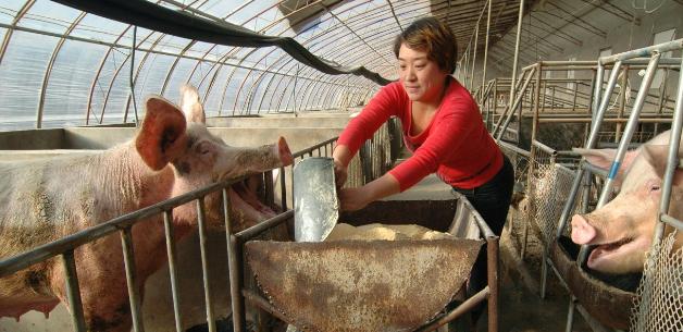 母猪繁殖能力差?猪场综合生产力不行,养猪专家告诉你怎么提高能繁母猪繁殖能力?