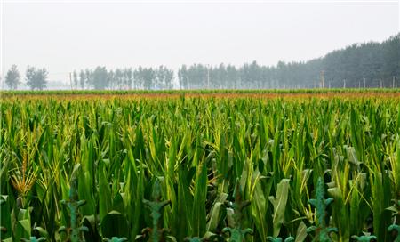 黑龙江定向玉米70余万吨!玉米价格震荡回调,贸易商冒着风险囤粮?