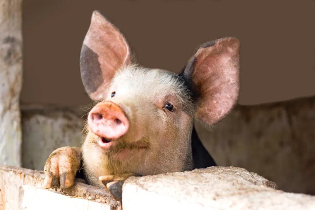 中国养猪设备的发展思路:传统养猪PK自动化养猪