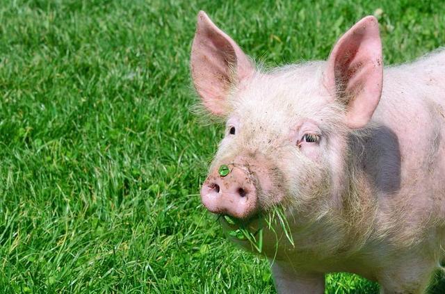 适量青饲料促进母猪泌乳,它是怎么运用到养猪业的?