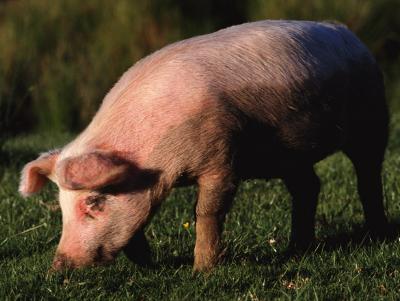 2020年12月19日全国各省市土杂猪生猪价格,全国土杂猪价格基本呈现波动式上涨的趋势