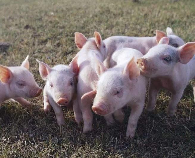 2020年12月19日全国各省市20公斤仔猪价格行情报价,国内20公斤仔猪价格维持在1400-1600元/头左右