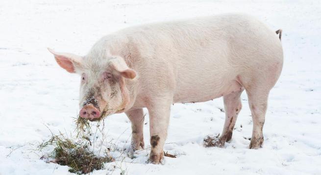 """冬季养猪难?""""1个中心2个关键点"""",针对性解决养猪难的问题!"""