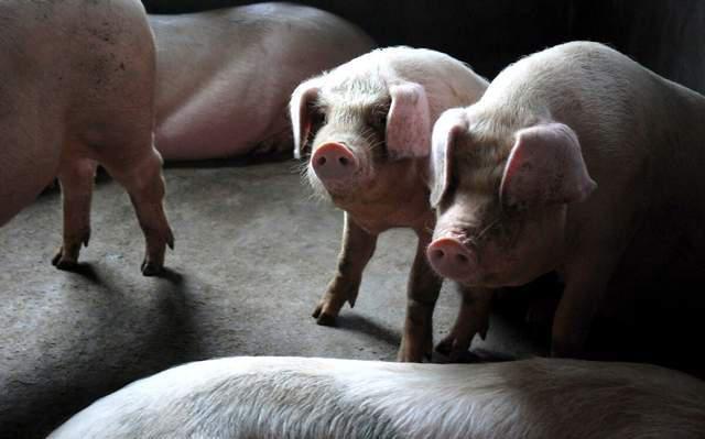 官方也重启储备肉投放,市场猪价反复涨跌,猪农在加速清栏?