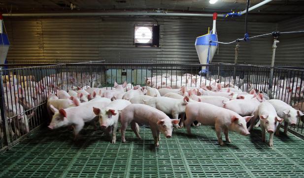 养猪场的臭气到底该如何控制呢?改变饲料营养含量就能解决!