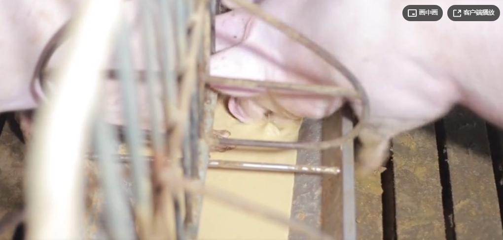 智能化猪场设备,从安装到运行,小猪长得好,养殖户放心