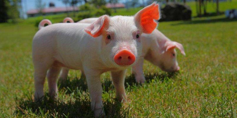 12月21日15公斤仔猪价格:跌了413元/头,明年养猪拼成本?