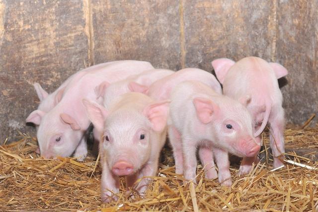 2020年12月22日全国各省市15公斤仔猪价格行情报价,跌幅较大,当暴力不在明年养猪拼成本!