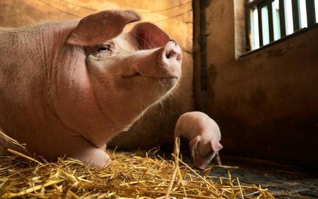如何科学配制猪饲料,这四个营养搭配原则是必须要遵守的