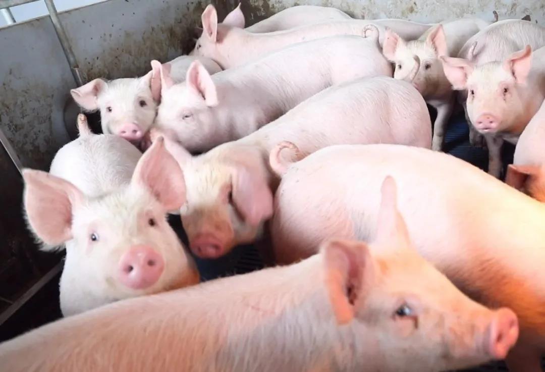 实证 | 特驱6233模式,助我科学养猪致富!