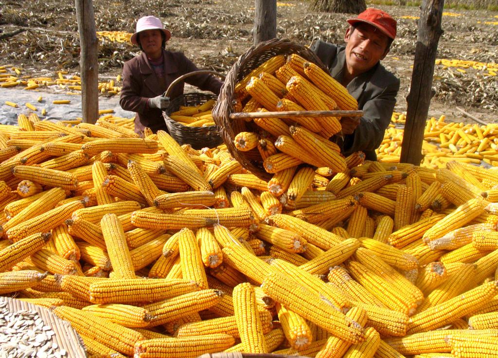 国家调控力度不减,5轮,黑龙江再来95万吨定向拍卖玉米!!!