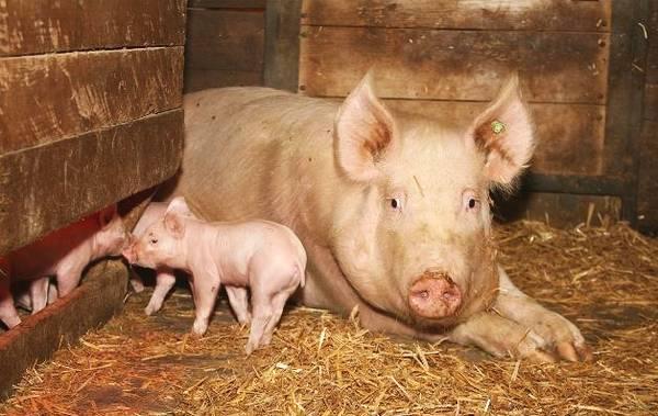 母猪便秘了有什么好办法?试试麦麸!