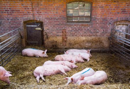 冬季猪场采光保暖的设计方案,让猪健康生长!