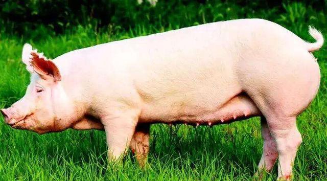 2020年养猪,有母猪就有了未来,你知道如何从小猪开始培育母猪吗