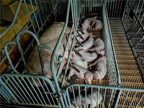 猪周期高点养殖户补栏积极!警惕生猪产业周期性循环对养殖户的潜在影响!