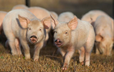 警惕!生猪周期性循环对养殖户的潜在影响