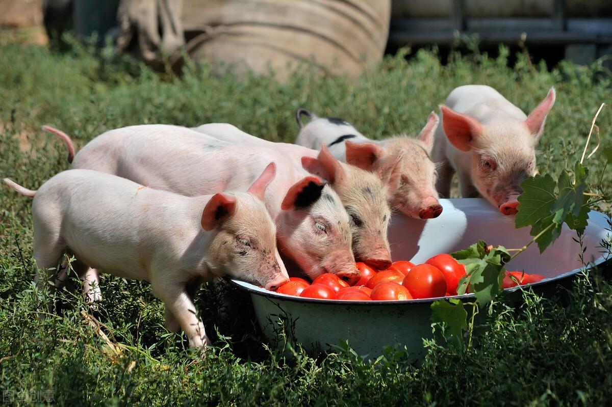 温度渐冷,冬季这3种猪病高发,养猪户别不当回事,有高死亡率