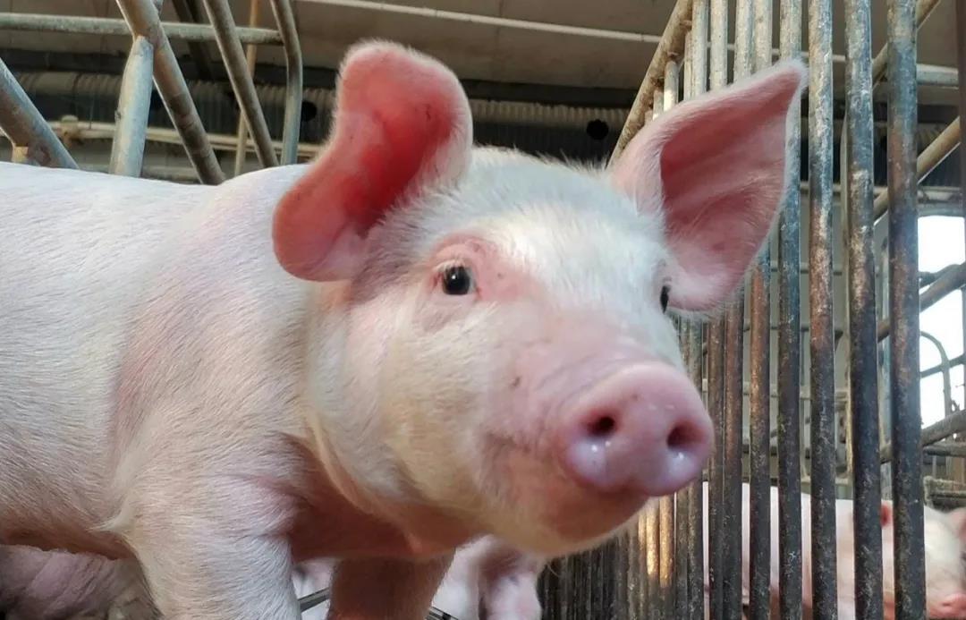 猪价大涨!逆转猪价的杀手锏失效?看看养猪户怎么说