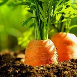 胡萝卜也能治猪病,有这3大好处,你知道么?