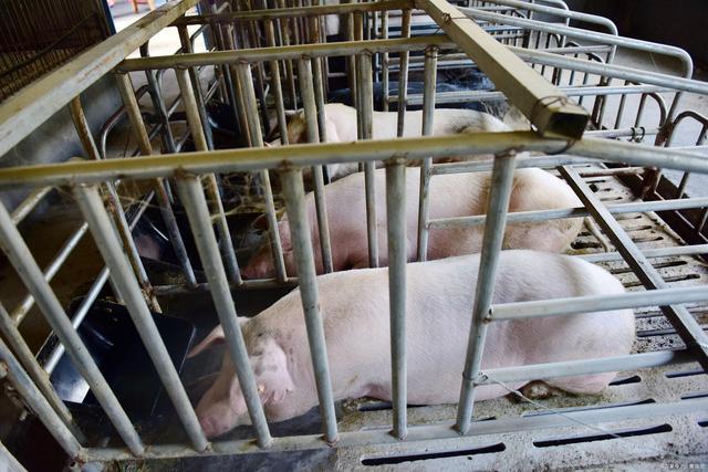 广东河源两个楼房式生猪养殖场,投资5.8亿,年出栏肥猪16.8万头