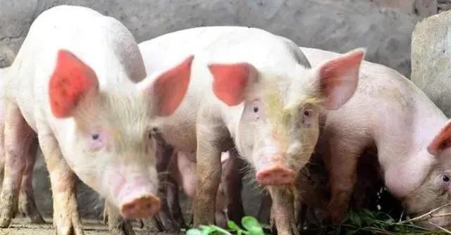 12月27日生猪价格,两天时间一头猪可多赚80元!专家:逢高出栏落袋为安