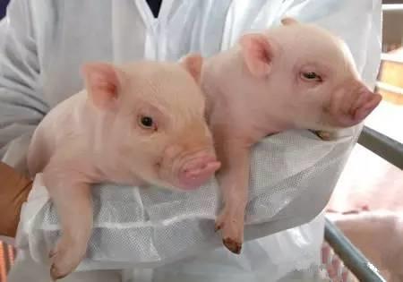 全球首个基因修饰猪在美国获批,可食用和医用