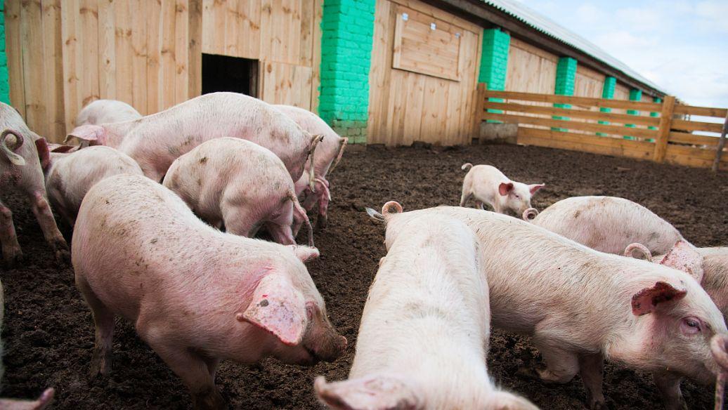"""猪价涨势不断,下行却依旧是大势所趋!明年可以""""大口吃肉""""了?"""