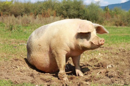 检查母猪是否怀孕的妙招,包你一学就会!