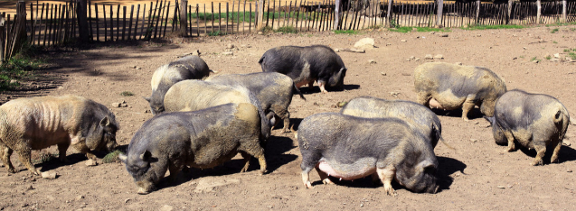 做好这5点,建设猪养殖场,可以减少不必要的损失