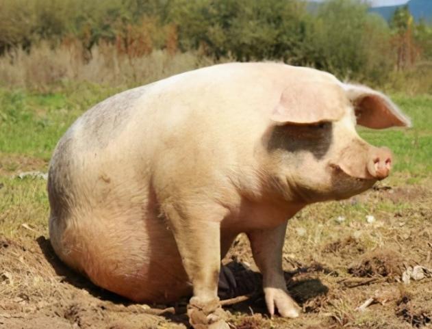 养好母猪的关键是什么?这5个黄金法则,教你如何养好母猪