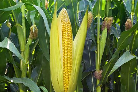 12月28日全国玉米价格行情,元旦倒计时,猪价涨,玉米还在涨?