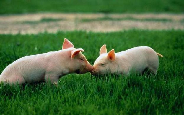 12月28日10公斤仔猪价格:外购仔猪要把握时机,仔猪红痢怎么治?