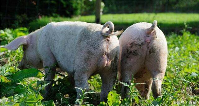 公猪带毒母猪感染,猪棒状杆菌病的流行、诊断及防治措施