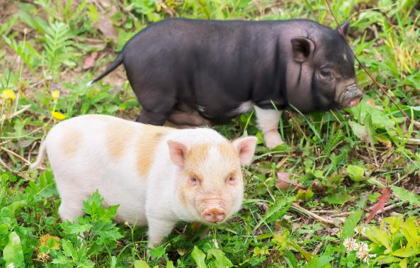 瘦肉猪高产繁殖技术,为生猪养殖场的瘦肉猪高产繁殖提供指导
