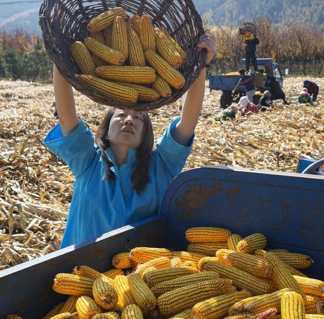 12月30日全国玉米价格行情,玉米价格震荡上行,玉米高涨行情还能维持多久?