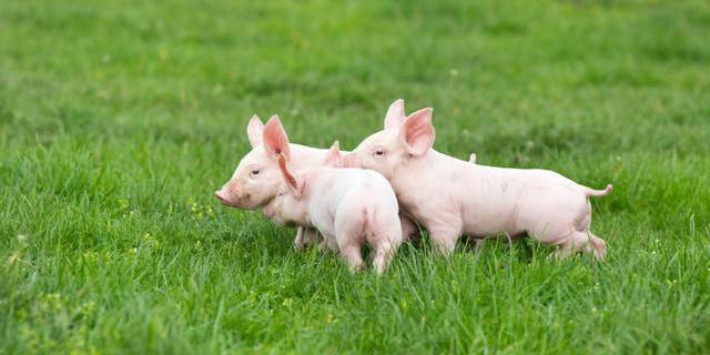2020年12月30日全国各省市20公斤仔猪价格行情报价,小幅反弹为主,短期受生猪价格积极影响