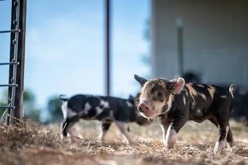 冬季寒冷猪舍迎来新挑战:你的猪舍做好准备了吗?