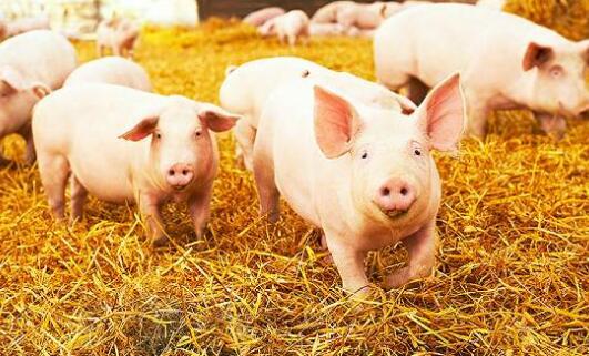 湖北十堰生猪存栏量从300头增至8000头,前10个月,出栏1.1万余头!