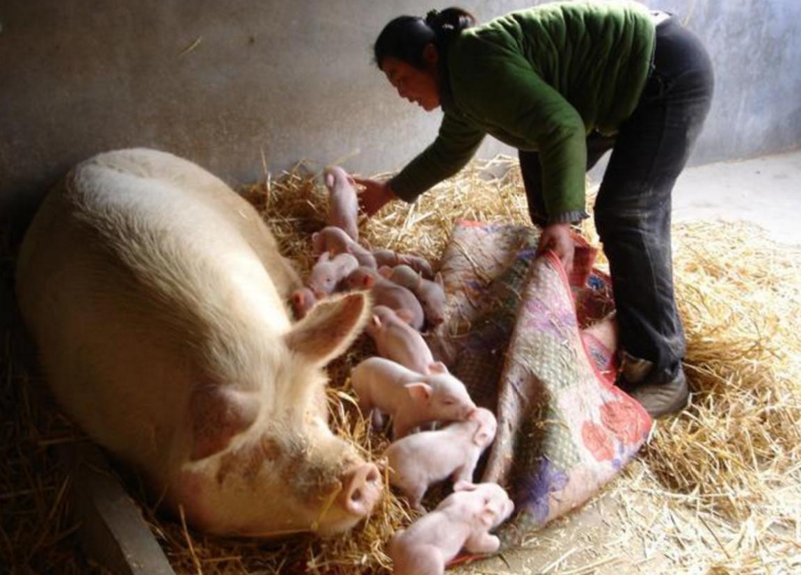 猪场补栏后,二胎母猪繁殖性能差,如何提高?看这里