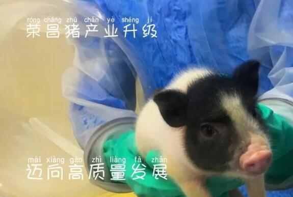 """""""象征财富、吉祥和无限可能""""——""""熊猫猪""""成就西部小城大产业"""