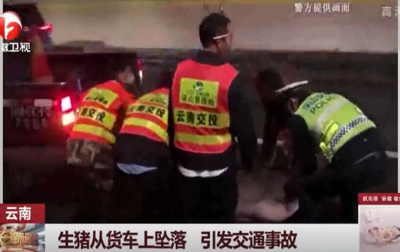 生猪突然从货车上坠落,后车刹车不及当场撞上,行车记录仪拍下全程