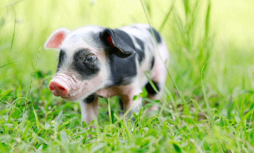 2021年01月03日全国各省市15公斤仔猪价格行情报价,元旦后猪价暴涨,仔猪跟涨无疑!