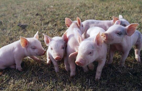 2020养猪业经历超乎想象,四之最,饲料禁抗、生猪调运、进口冻肉...继续影响未来猪价?