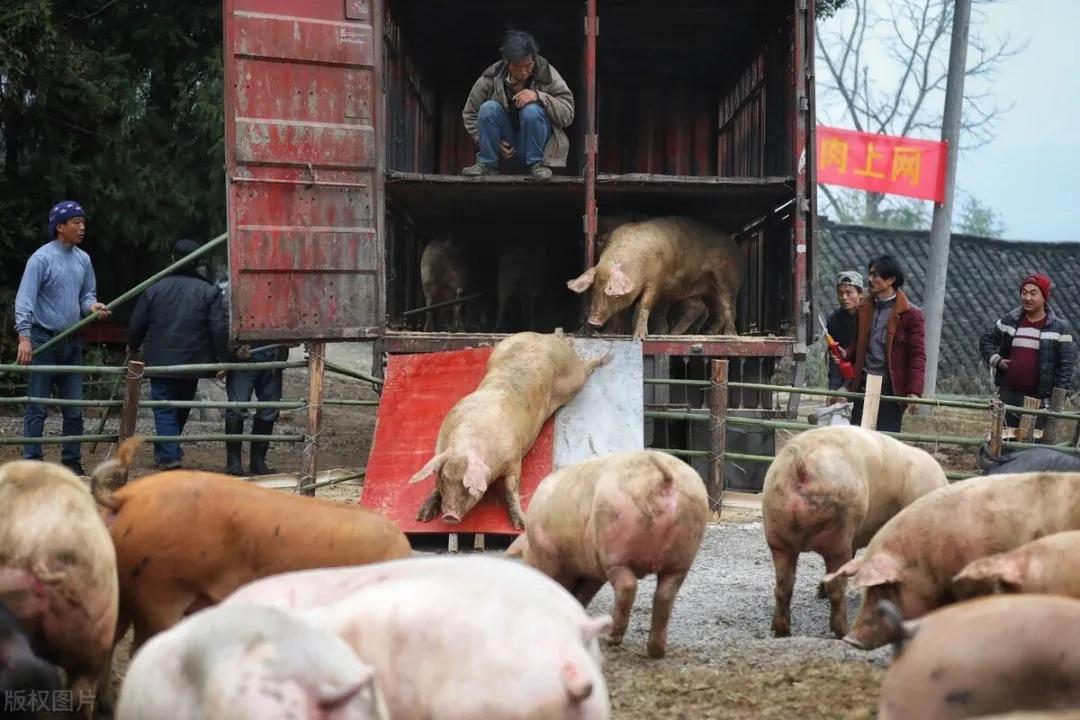 """猪价喜迎开门红,市场""""一猪难求""""再现!年底还能涨多少?"""