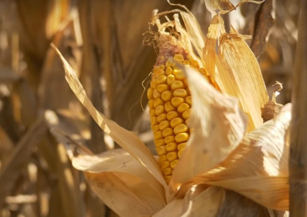 1月4日全国玉米价格行情,年末走出新一轮上涨,能维持多久?