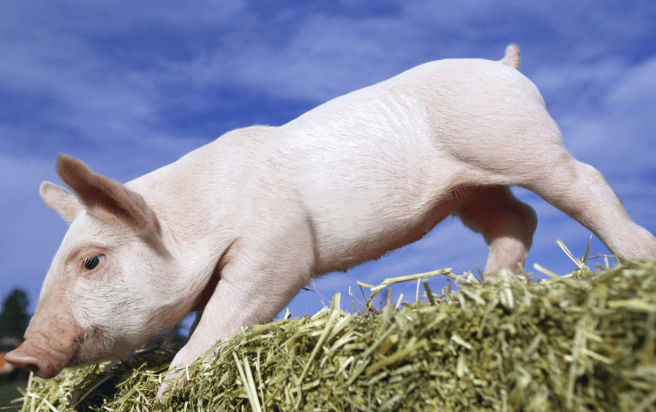 2021年01月04日全国各省市20公斤仔猪价格行情报价,受生猪价格带动仔猪持续上调