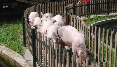 2021生猪年报 |从供应、需求、供需平衡来分析!
