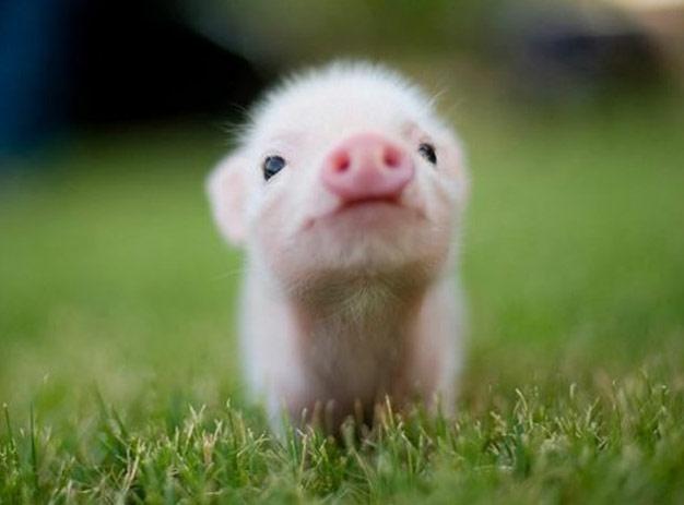 2021年01月05日全国各省市10公斤仔猪价格行情报价,仔猪价格连续四周反弹,但反弹力度较弱